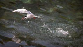 共同的燕鸥潜水到食物的海洋里 库存图片