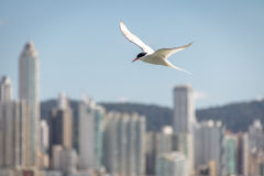 共同的燕鸥- Balneario Camboriu,圣卡塔琳娜州,巴西 免版税库存图片