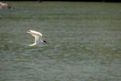 共同的燕鸥- Balneario Camboriu,圣卡塔琳娜州,巴西 库存图片