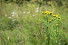 共同的狗舌草或groundsel寻常的Jacobaea 免版税库存照片