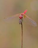 共同的猩红色突进者蜻蜓 免版税库存照片