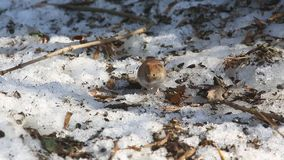 共同的田鼠看起来小眼睛的/Microtus arvalis/s作为小珠 股票录像