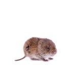 共同的田鼠, 3个星期年纪,在白色 免版税库存照片