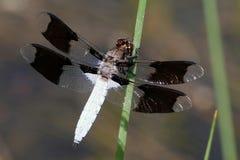 共同的白尾鹿蜻蜓- Plathemis lydia 库存照片