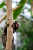 共同的白色装缨球耳朵小猿 图库摄影