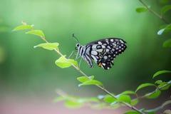 共同的石灰蝴蝶坐花植物 免版税库存图片