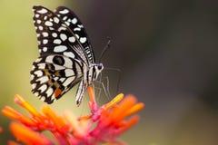 共同的石灰蝴蝶 图库摄影