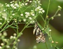 共同的石灰蝴蝶 免版税库存照片
