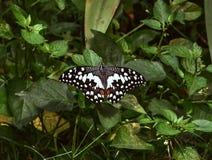 共同的石灰Papilio Demoleus 免版税库存图片