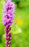 共同的硫磺蝴蝶坐一朵紫色花 免版税库存图片