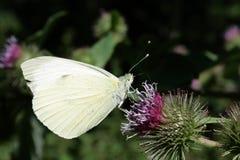 共同的硫磺蝴蝶或黄油色飞行 免版税库存照片