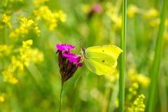 共同的硫磺Gonepteryx rhamni,从黄色花的蝴蝶饮用的花蜜 免版税库存照片