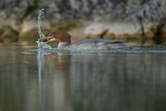 共同的秋沙鸭用小鲤鱼 库存图片