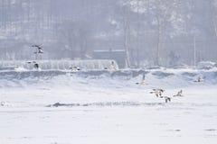 共同的秋沙鸭 库存图片