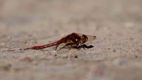 共同的突进者蜻蜓, Sympetrum striolatum,基于石渣在威严的一个晴天期间 影视素材
