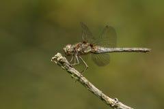 共同的突进者蜻蜓& x28; Sympetrum striolatum& x29;  免版税库存图片