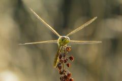 共同的突进者(Sympetrum striolatum)前面 库存照片