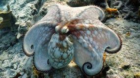 共同的章鱼 免版税库存照片