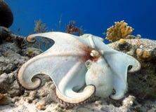 共同的章鱼 库存照片