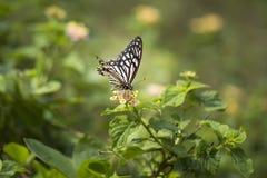 共同的笑剧蝴蝶- Papilio clytia 库存图片