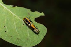 共同的笑剧Papilio clytia毛虫 免版税库存图片
