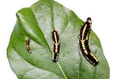 共同的笑剧Papilio clytia毛虫 免版税图库摄影