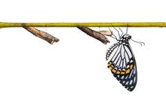 共同的笑剧Papilio clytia蝴蝶和蛹 库存照片