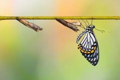 共同的笑剧Papilio clytia蝴蝶和蛹 库存图片