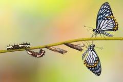 共同的笑剧Papilio clytia蝴蝶生命周期 免版税库存照片
