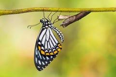 共同的笑剧Papilio clytia蝴蝶 免版税图库摄影