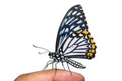 共同的笑剧Papilio clytia蝴蝶 免版税库存图片