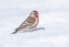 共同的红弱鸟 免版税库存照片