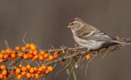 共同的红弱鸟- Acanthis flammea 免版税库存图片