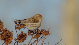 共同的红弱鸟- Carduelis flammea/Acanthis flammea 库存图片