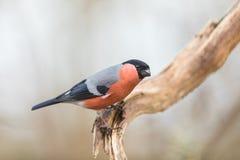 共同的红腹灰雀或欧亚混血人红腹灰雀Pyrrhula pyrrhula,坐一个分支有软的背景 库存照片