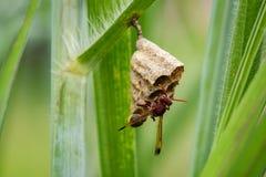 共同的纸质黄蜂Ropalidia fasciata的图象和黄蜂筑巢 库存图片