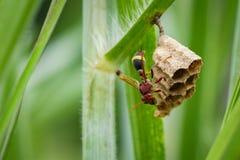 共同的纸质黄蜂Ropalidia fasciata的图象和黄蜂筑巢 免版税库存图片