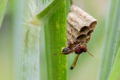 共同的纸质黄蜂Ropalidia fasciata的图象和黄蜂筑巢 免版税库存照片