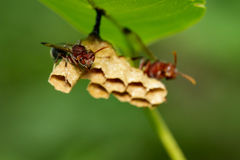 共同的纸质黄蜂/Ropalidia fasciata的图象和黄蜂筑巢 库存图片