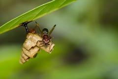 共同的纸质黄蜂/Ropalidia fasciata的图象和黄蜂筑巢 免版税库存照片
