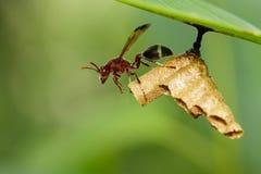 共同的纸质黄蜂/Ropalidia fasciata的图象和黄蜂筑巢 库存照片
