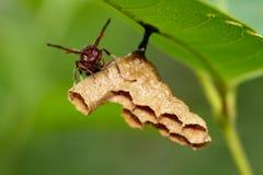 共同的纸质黄蜂/Ropalidia fasciata的图象和黄蜂筑巢 免版税库存图片