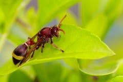 共同的纸质黄蜂/Ropalidia fasciata的图象在绿色叶子的 库存图片