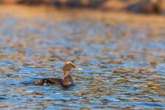 共同的绒鸭女性在镇静蓝色海游泳在冬天 图库摄影