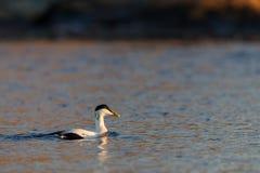 共同的绒鸭男性在镇静蓝色海游泳在冬天 库存图片