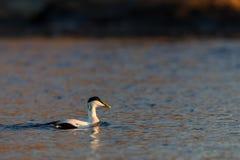 共同的绒鸭男性游泳在蓝色海洋在冬天 免版税库存图片