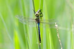 共同的绿色更加织补的蜻蜓,乔治亚,美国 免版税图库摄影