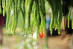 共同的缨子蕨蕨  免版税库存图片