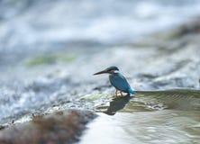 共同的翠鸟等待的抓住,Kanha国立公园,中央邦,印度 库存照片