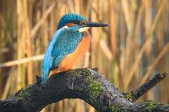 共同的翠鸟翠鸟属atthis在树的树干等待 库存照片